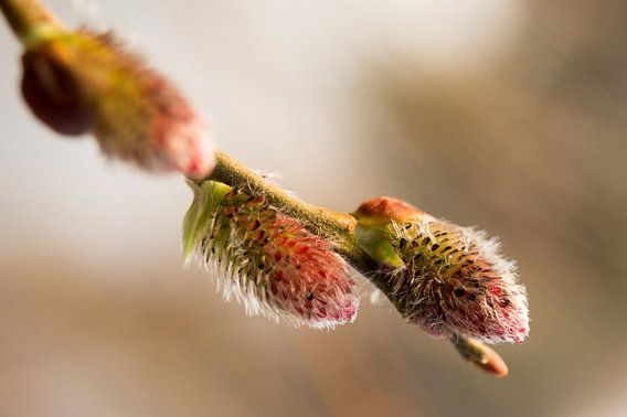 voorjaar met uitlopende knop