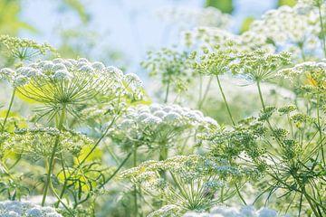 Bloemenveld met witte schermbloemen van Anouschka Hendriks