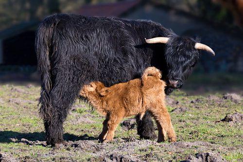 Schotse hooglander koe met drinkend pasgeboren kalf