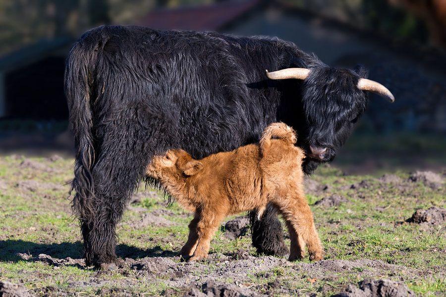 Schotse hooglander koe met drinkend pasgeboren kalf van Ben Schonewille