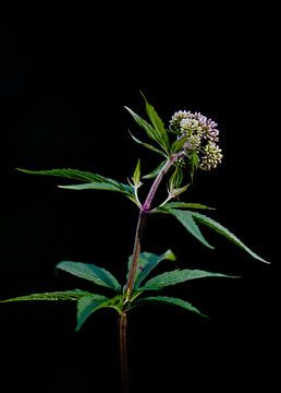 wilde bloem in het zwart von Mieke Verkennis