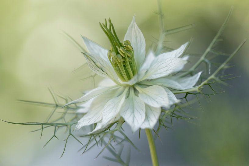Juffertj- in-het-groen  Nigella damascena van Tanja van Beuningen
