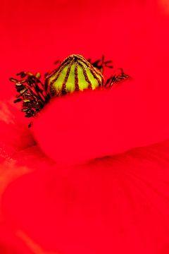 Close-up van een Grote Klaproos van AGAMI Photo Agency