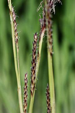 Bloeiend gras sur Marlies Prieckaerts
