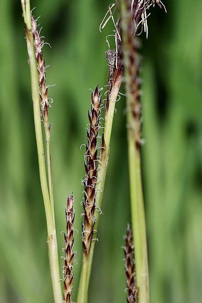 Bloeiend gras