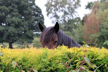 Paard die over de heg gluurt van Anna van Leeuwen