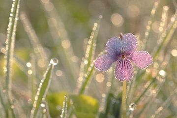 Marsh Violet  sur simone opdam