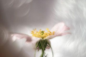 Traum-Rose von Gerry van Roosmalen