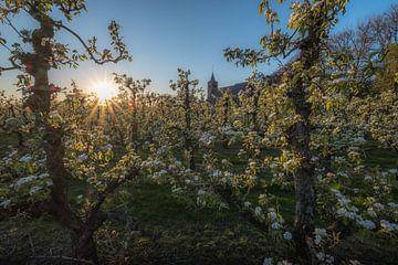 Kerk Echteld tussen fruitboomgaard van Moetwil en van Dijk - Fotografie