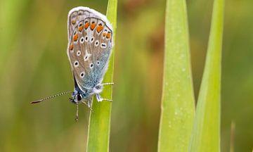 Icarus blauwtje op Texel / Common blue on Texel von Justin Sinner Pictures ( Fotograaf op Texel)