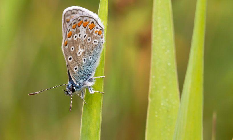 Icarus blauwtje op Texel / Common blue on Texel van Justin Sinner Pictures ( Fotograaf op Texel)