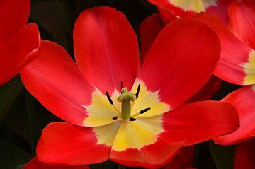 Grote helder rode Tulp van Marcel van Duinen