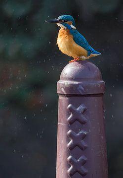 IJsvogel op Amsterdammertje in Amsterdam van Jeroen Stel