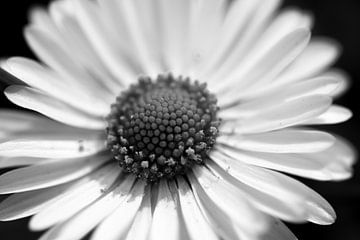 Gänseblümchen in Schwarz-Weiß von Ilse Jansen
