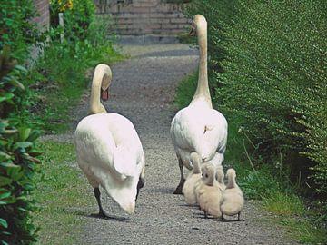 Wandelende zwanenfamilie van Anita van Gendt