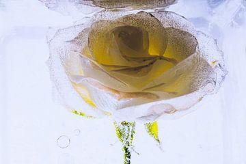 Gele en witte roos in ijs 1 van Marc Heiligenstein