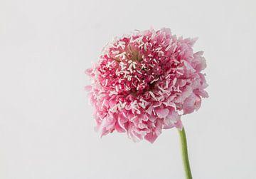 scabiosa bloem van Gerard De Mooij