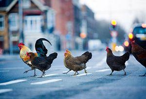 Wilde kippen in de stad