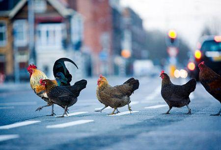 Wilde Hühner in der Stadt von Hollandse Hoogte