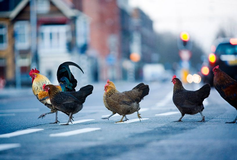 Wilde kippen in de stad van Hollandse Hoogte