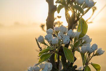 Blüten im Nebel bei Sonnenaufgang von Rossum-Fotografie