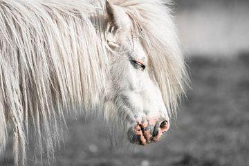 Weißes Pony (Shetland) von Jeroen Mikkers