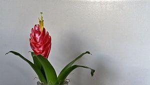 bloeiwijze van joyce kool
