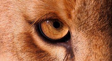 Het oog van een leeuwin van
