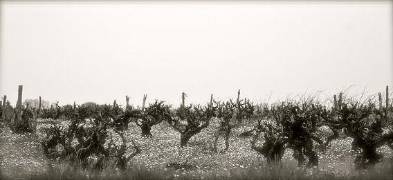 Wijngaard en madeliefjes