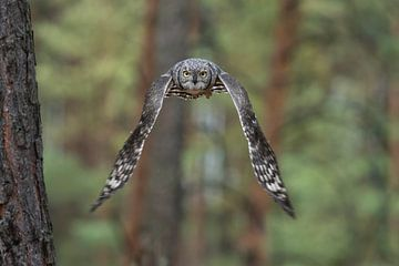 Great Horned Owl / Tiger Owl * Bubo virginianus * van wunderbare Erde