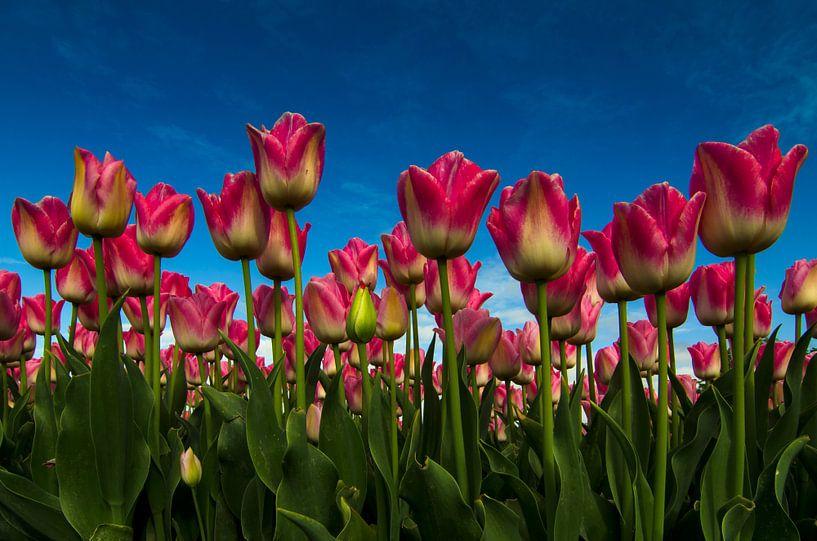 Tulpenveld van René Vos