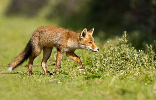 Een jonge vos van