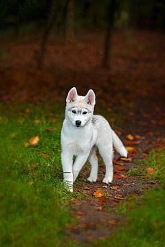 Husky puppy van Anouschka Hendriks