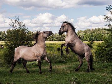 Wilde konikpaarden van Roel Van Cauwenberghe