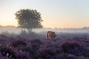 Am frühen Morgen auf der Heide von Emile Kaihatu