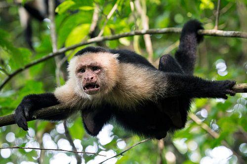 Makaak in Corcovado NP, Costa Rica von Martijn Smeets