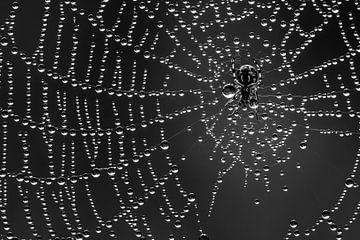 Spinne in den Tautropfen von Marcel Runhart