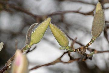 Magnolialove von Ingrid de Vos - Boom