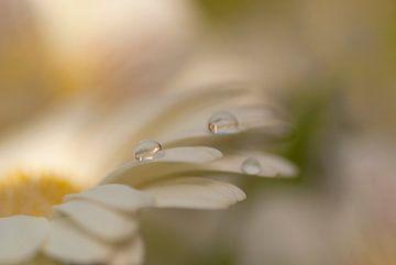 Softe opname van een witte Gerbera met druppels van