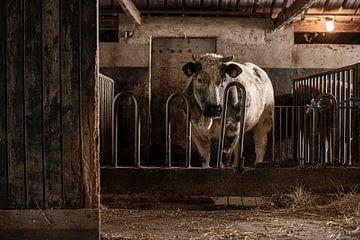 Stier in oude stal van Danai Kox Kanters