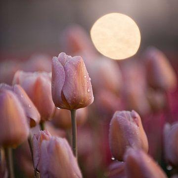 pastel kleur tulp, vierkant formaat van patricia petrick