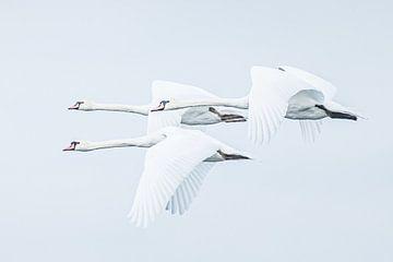 Les cygnes blancs sur Hennie Zeij