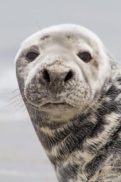 Natuur   Zeehond portret Helgoland van Servan Ott