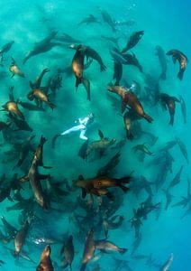 Eén met de groep zeeleeuwen