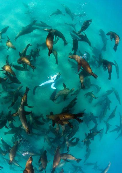Eén met de groep zeeleeuwen van Joost van Uffelen