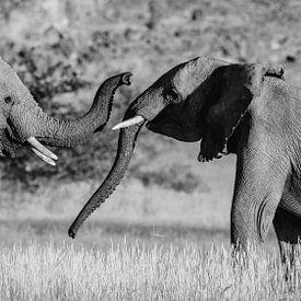 Zwart-wit foto van twee vechtende mannetjes woestijnolifanten / olifanten - Twyfelfontein, Namibië van Martijn Smeets
