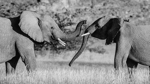 Zwart-wit foto van twee vechtende mannetjes woestijnolifanten / olifanten - Twyfelfontein, Namibië van