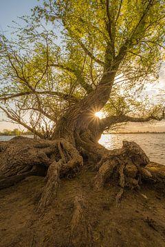 Nederlandse boomwortels - mangrove van Moetwil en van Dijk - Fotografie