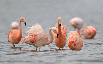 Flamingo's in het Grevelingenmeer van Michel de Beer