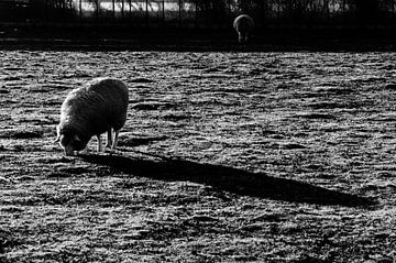 Ein Schaf auf der Wiese von Eline Willekens